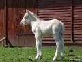 2011-04-16_021_zrebie_na_pastwisku