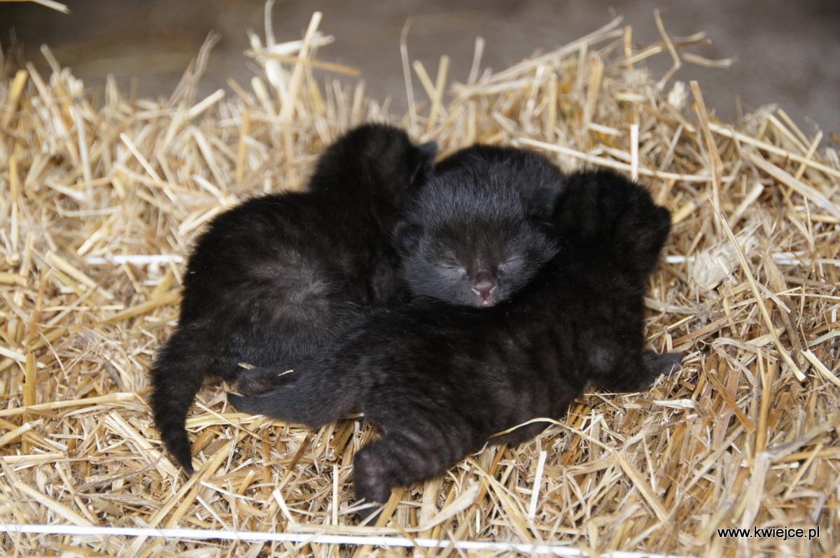 Małe kotki | Kwiejce - Karpniki Male